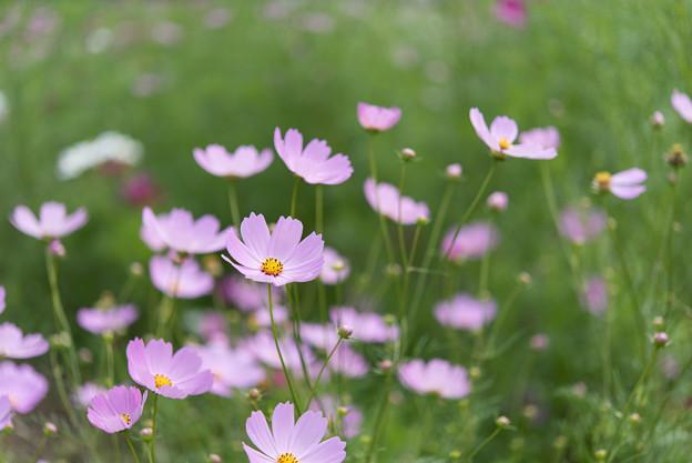 昭和記念公園【花の丘のコスモス:ドワーフ・センセーション】標準マクロ4