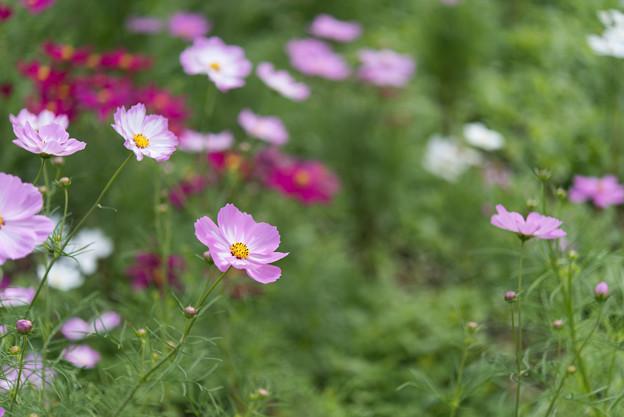 昭和記念公園【花の丘のコスモス:ドワーフ・センセーション】標準マクロ5