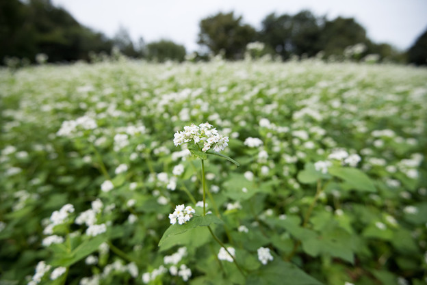 昭和記念公園【白の蕎麦の花】2
