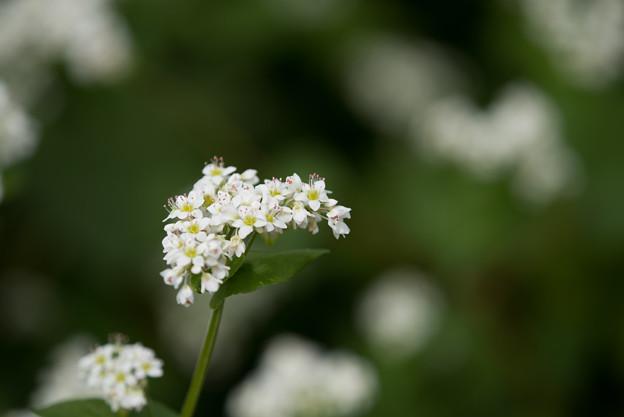 昭和記念公園【白の蕎麦の花】5