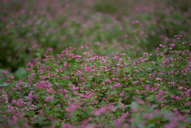 昭和記念公園【赤の蕎麦の花】1