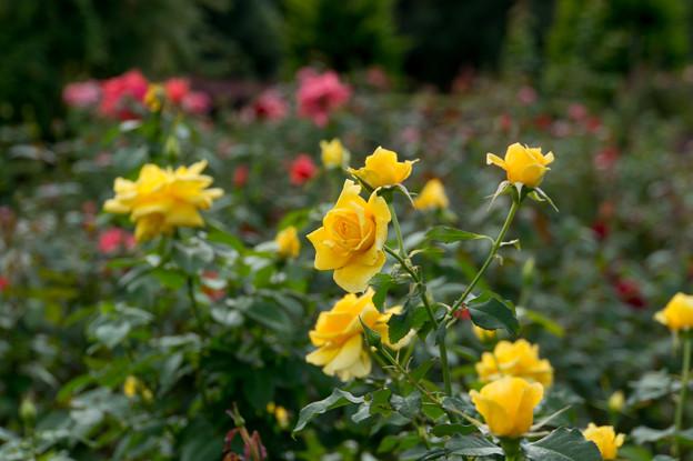 花菜ガーデン【薔薇:コールド・バニー】1