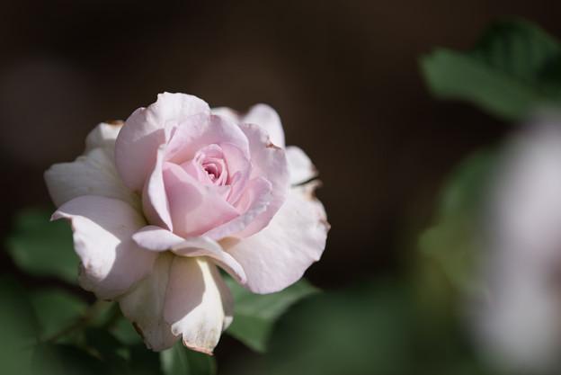 花菜ガーデン【薔薇:ニュー・ウェーブ】1