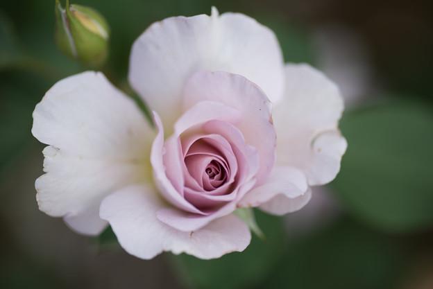 花菜ガーデン【薔薇:ニュー・ウェーブ】4