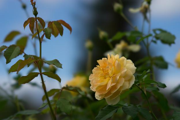 花菜ガーデン【薔薇:モリニュー】4