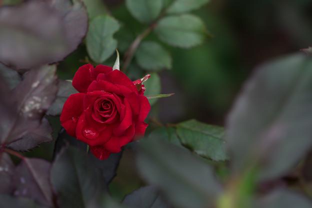 花菜ガーデン【薔薇:煌】