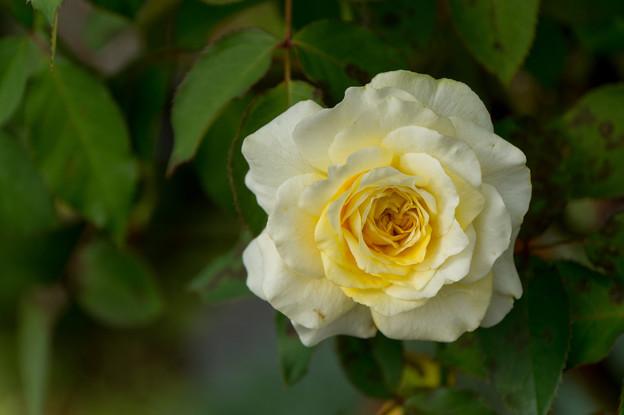 花菜ガーデン【薔薇:快挙】