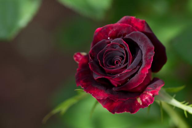 花菜ガーデン【薔薇:ブラック・バカラ】1