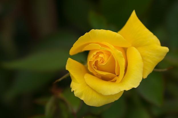 花菜ガーデン【薔薇:ドゥフトゴルト】