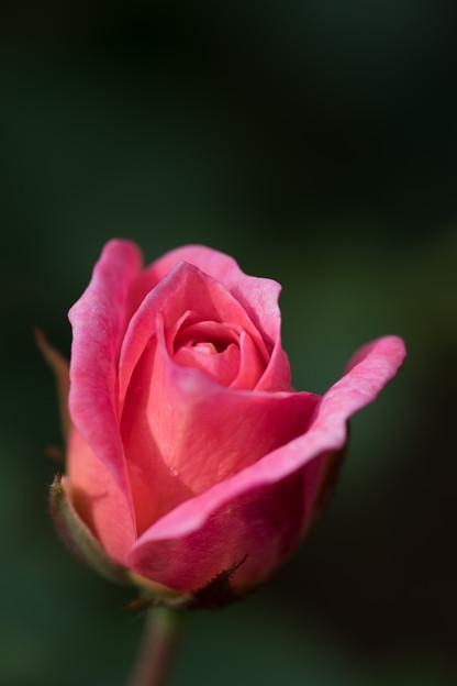 花菜ガーデン【薔薇:ピノキオ】