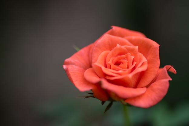 花菜ガーデン【薔薇:ストロベリー・スワール】2