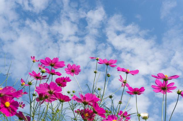 【里山ガーデンのコスモス】7