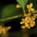 庭の花【キンモクセイ】1