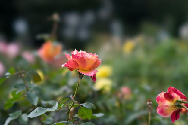 京成バラ園【秋バラ:ピュア・ポエトリー】1