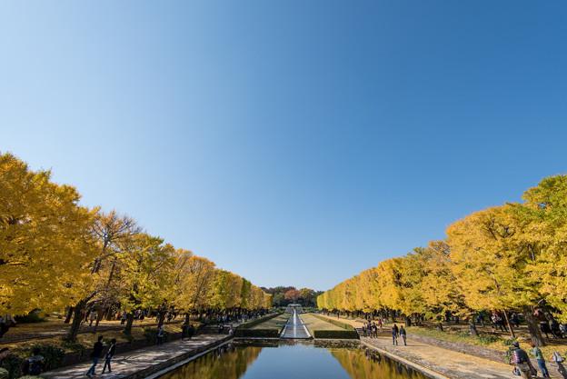昭和記念公園【カナールのイチョウ】1
