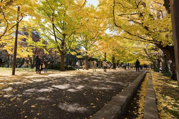 Photos: 昭和記念公園【カナールのイチョウ】6