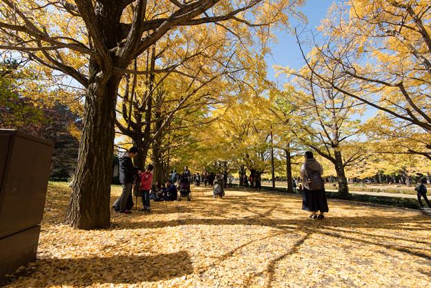 Photos: 昭和記念公園【カナールのイチョウ】7