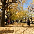 昭和記念公園【カナールのイチョウ】7