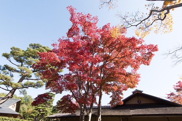 昭和記念公園【日本庭園の紅葉】1-2