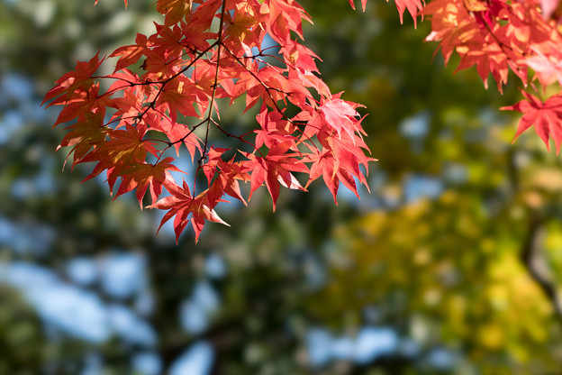 昭和記念公園【日本庭園の紅葉】2-3