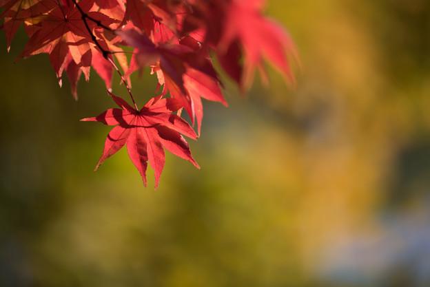 昭和記念公園【日本庭園の紅葉】2-5