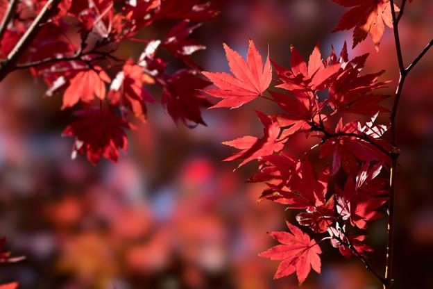 昭和記念公園【日本庭園の紅葉】3-3