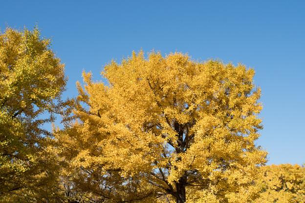 昭和記念公園【イチョウの大木】1