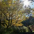 Photos: 昭和記念公園【イチョウの大木】2