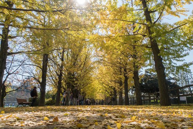 昭和記念公園【かたらいのイチョウ並木】