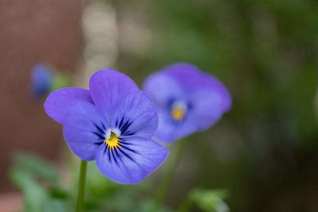 庭の花【パンジー】
