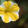 Photos: 庭の花【スーパーベル】