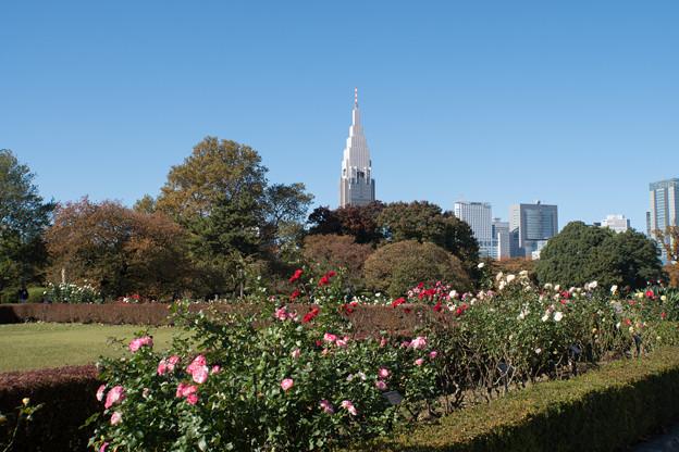 新宿御苑【バラ花壇が見頃でした】