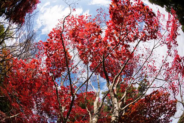薬師池公園【旧荻野家手前の紅葉】4