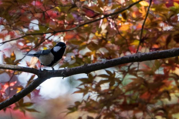 薬師池公園【鳥:シジュウガラ】