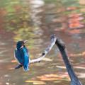 薬師池公園【鳥:カワセミ】2