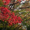 【近所の緑道の紅葉】2