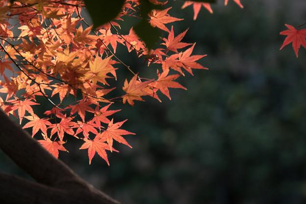 【近所の緑道の紅葉】5