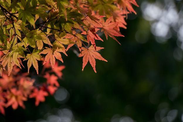 【近所の緑道の紅葉】6