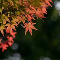 Photos: 【近所の緑道の紅葉】6