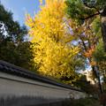 小石川後楽園【朝日を浴びた銀杏】
