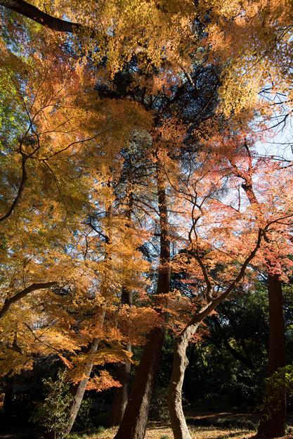 新宿御苑【モミジ山のの紅葉】1