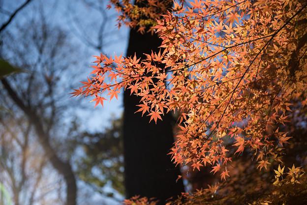 新宿御苑【モミジ山のの紅葉】5
