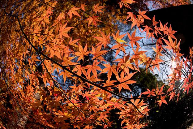 新宿御苑【モミジ山のの紅葉】6