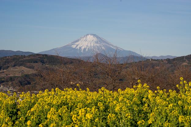【吾妻山公園のナノハナと富士山】