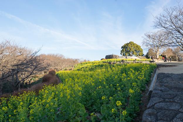 【吾妻山公園のナノハナ】1
