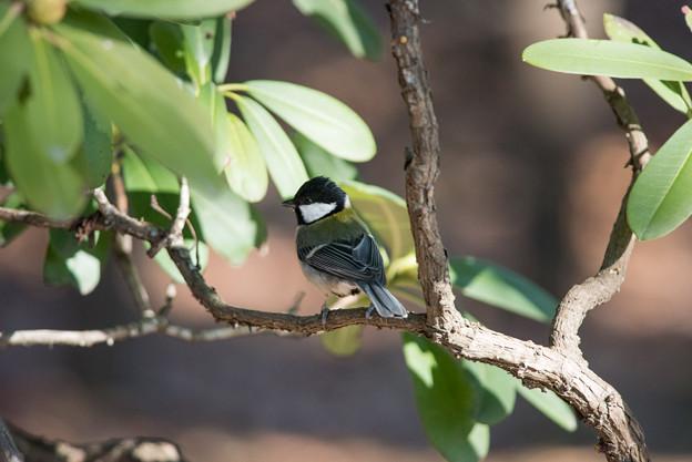 神代植物公園【野鳥:シジュウカラ】3