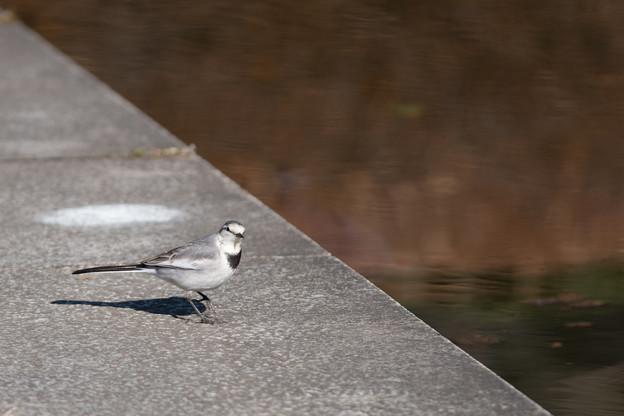 神代植物公園【野鳥:ハクセキレイ】1
