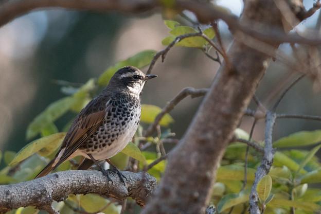 神代植物公園【野鳥:ツグミ】1