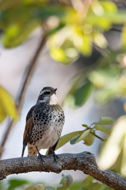 神代植物公園【野鳥:ツグミ】2