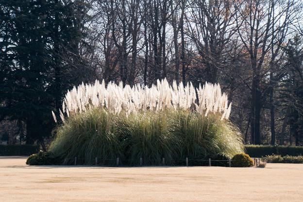 神代植物公園【パンパスグラス】2